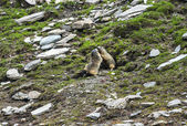 Colle dell'Agnello: two groundhogs — Stock fotografie