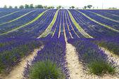 Plateau de valensole (provence), levandule — Stock fotografie