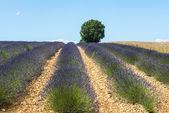 Plateau de Valensole (Provence), lavender — Stock Photo