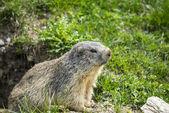 Colle dell'Agnello: groundhog closeup — Stock fotografie