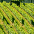 Langhe, vineyards — Stock Photo #33088497