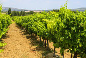 Vineyards in Languedoc-Roussillon — Stock fotografie
