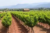 Wijngaarden in var (provence) — Stockfoto