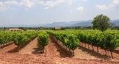 Winnice w var (Prowansja) — Zdjęcie stockowe