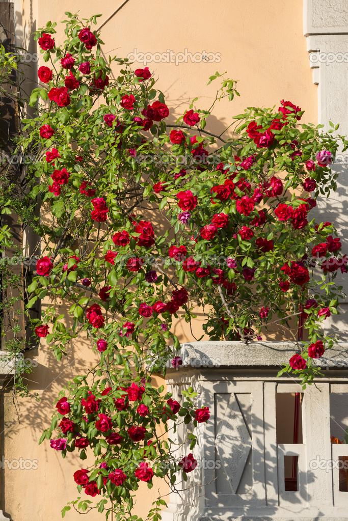 Выращивание розы на балконе 30