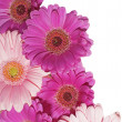 Gerbera Background — 图库照片