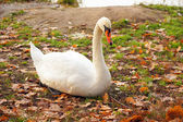 Swan in nature — Stock Photo