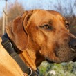 Rhodesian ridgeback — Stock Photo #16847785