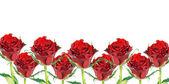 Red roses — Fotografia Stock
