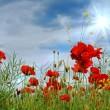 Poppies — Stock Photo #22878742