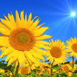 Foto Stock: Sunflower