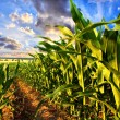 Corn field — Stockfoto #22878992