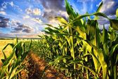 Corn field — Stockfoto