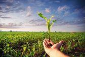 Maïs planten — Stockfoto