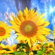Foto Stock: Sunflower field
