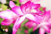 Schlumbergera flower — Stock Photo