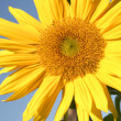 Sunflower — Stock Photo #31572007