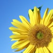 Sunflower — Stock Photo #31572327