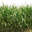 Maize plants — Stock Photo