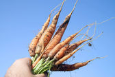 Carrot — Stock Photo