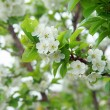 Cherry Tree — Stock Photo #37851705