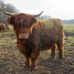Highland cattle — Stock Photo