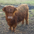 Highland cattle — Stock Photo