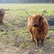 Stock Photo: Highland cattle