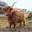 Highland cattle — Stock Photo #38004329