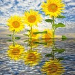 Sunflowers — Stockfoto #39187591