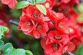 Wild Cherry — Stock Photo