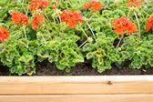 Geraniums — Stock Photo