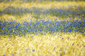 Cornflowers — Stock Photo