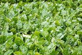 蔬菜种植 — 图库照片