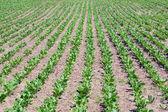 Vegetable growing — Stock Photo