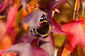 Butterfly on red leaves — Stock Photo