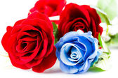 Red and blue roses — Stock Photo