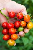 Tomates orgánicos agricultor mostrando — Foto de Stock