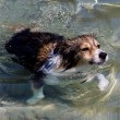 Swimming dog — Stock Photo