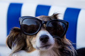 Dogs wearing a pair of sunglasses — Stock Photo