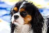 Wet Cavalier king purebreed — Stock Photo