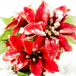 Christmas poinsettia with snow — Stock Photo #36829149
