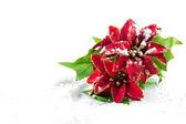 Christmas poinsettia with snow — Stock Photo