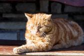 Red cat in the sun — Stockfoto