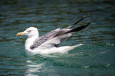 Seagull swimming — Stock Photo
