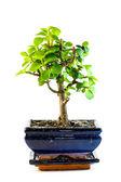 Bonsai succulent — Stock Photo
