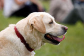 Labrador dog purebreed — Stock Photo
