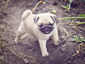 Very cute puppy pug — Stock Photo
