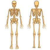 Human Skeleton Vector Illustration — Stock Vector