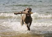Dog having fun in the water — Stock Photo